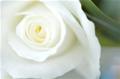 rosewhite82
