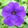 little_violet