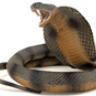 blackcobra