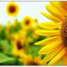 sunflower06