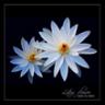 lotusvanilla