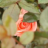 mergi_rose