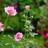 Rosebaby